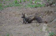 """""""Şedinţă foto"""" cu o veveriţă în parcul Sub Arini dinSibiu"""